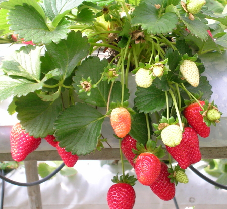 Strawberries - Plant